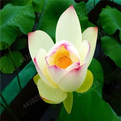 ! Heißer 10Pcs / Bag Bonsai Wasser-Hyazinthe Blumen Pflanzen Neuer Live-Wasser-Hyazinthe Schwimmteich Aquarium Fissidens Fon: i