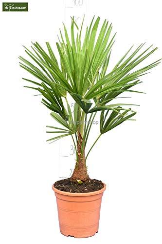 Winterharte Hanfpalme - Trachycarpus fortunei - 70-80cm Topf Ø 23cm