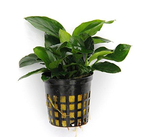 3 Töpfe Anubias Nana/Zwergspeerblatt - barschfeste Wasserpflanzen