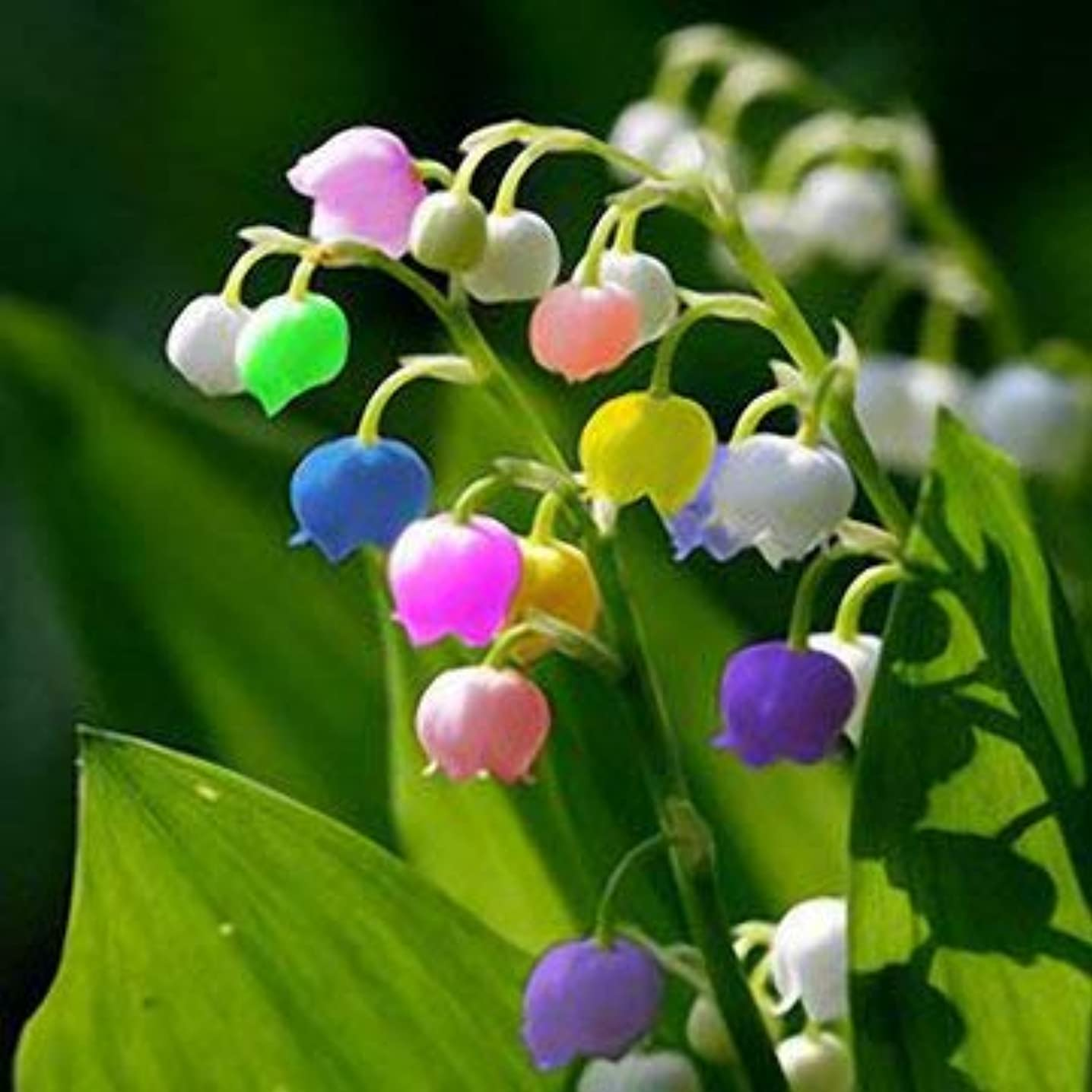 50 PCS Rare Lily of Valley Flower Seeds Colored Rainbow Bell Orchid Seed Garden Bonsai - Gardening Seeds - 1 x 50 PCS Egrow Multi-colored Valley Lily Flower Seeds