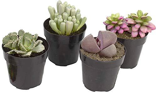 Altman Plants Assorted Live mini Mimicry Rock Succulents unique colorful lithops pleiospilos faucaria, 2.5', 4 Pack
