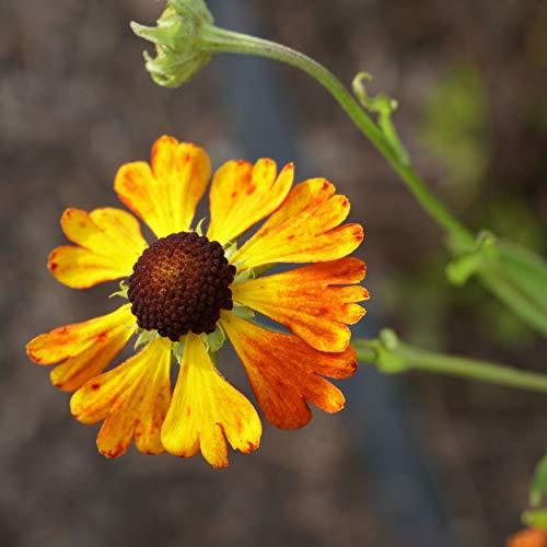 Blumixx Stauden Helenium Hybride 'Waltraud' - Sonnenbraut, im 1,0 Liter Topf, orangebraun blühend