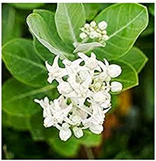 Richyards Live White Aak Medicinal Plant with pot - Outdoor Plant