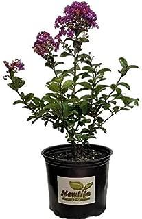 New Life Nursery & Garden- - Purple Magic Crape Myrtle