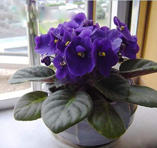 50pcs Violet Seeds African Violet Plants Seeds Indoor Balcony Flowers Plant for Home Garden Easy to Plant Flower Plant Flower Plants Seeds