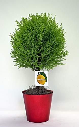 Coastal Nursery CYP-LEM-TBS-F650T Lemon Cypress Topiary Plant, 6.5', Chartreuse