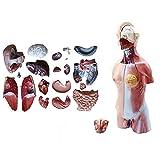 XHLLX Modelo de torso humano sexo, estructura anatómica de órganos internos humanos, modelo de...