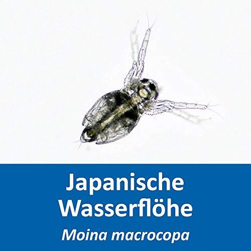 Lebendfutter - Japanische Wasserflöhe - Moina macrocopa (Zuchtansatz, Reine Wasserfloheier) - Lebendfutter für Fische im Aquarium