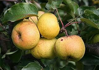 Best ussurian pear tree Reviews