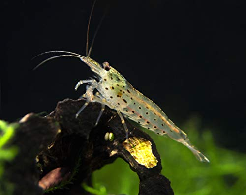 Aquatic Arts 5 Amano Shrimp | Live Freshwater Aquarium Clearer | Real Living Nano Fish Kit | Natural Glass Clearing Dwarf Caridina | Live Shrimp
