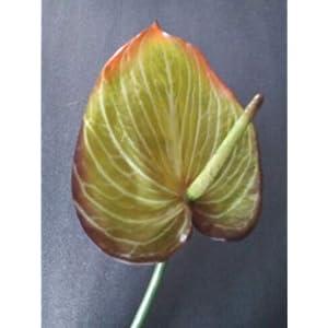 25″ Anthurium Stem. Silk Flower Floral Arrangements Tropical Hawaiian Flowers. Blooms: 5″ Wide by 7″ Long- Artificial Flowers #FWB01YN