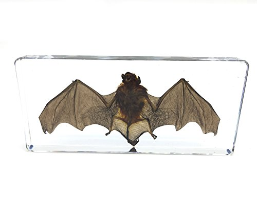 Bat Specimens Science Classroom Specimen for Science Education(5.5x2.5x0.7 Inch)