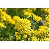 Alyssum montanum 'Berggold' - Garten-Berg-Steinkraut 'Berggold' - 9cm Topf