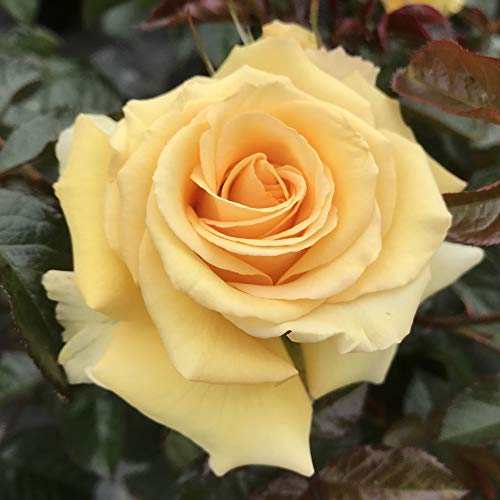 Our Angel - 5.5lt Potted Hybrid Tea Garden Rose Bush - Exclusive! Stunning Large Swirled Pastel Yellow Blooms, Healthy Growth, Good Fragrance