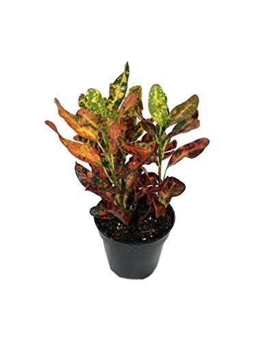 Croton Red Batik - Live Plant in a 4 Inch Pot -Codiaeum Variegatum 'Batik' - Beautiful Easy Care Indoor Houseplant