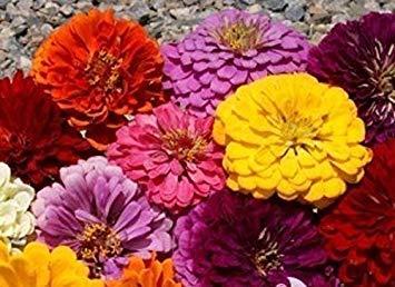 Pets Delite® 500 graines: Zinnia, Dahlia Flowered Mix â€rouge/orange/rose/violet/blanc/jaune, graines de fleurs (500 graines)