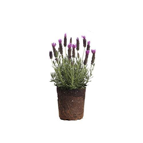 Plants by Post 1 Lavender Spanish, Live Plant, Gallon, Purple-Set of 2, 6'