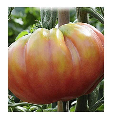 Inception Pro Infinite 500 C.ca Semi Pomodoro Belmonty sel. Rosa - Lycopersicum esculenthum - In Confezione Originale - Prodotto in Italia - Pomodori - PM014