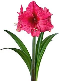 Amaryllis Bulb Pink Amaryllis Lagoon - 26/28cm Bulb - Outstanding Indoor Blooms | Ships from Easy to Grow TM