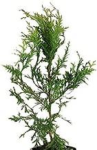 25 Thuja Green Giant Arborvitae 8-12 Inch Tall Trees