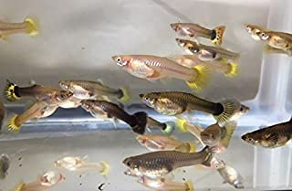 Tropical Fish 20 Assorted Guppies Male and Female