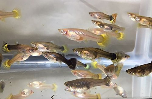 Amazon Com Tropical Fish 20 Assorted Guppies Male And Female Pet Supplies