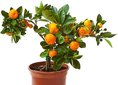 Creative Farmer Live Fruit Plant For Garden Orange Small Lime Like Orange Plant Indoor Plants For Home Air Purifier Home Garden (1 Healthy Live Plant)