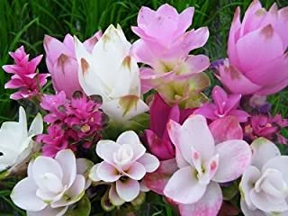 curcuma bulbs for sale