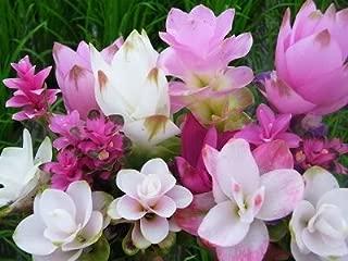 SilksArt Garden Art 3 Plants Bulbs with Green Rim Siam Tulip Curcuma Alismatifolia Tropical Fresh and Viable Flower Fresh & Viable from Garden