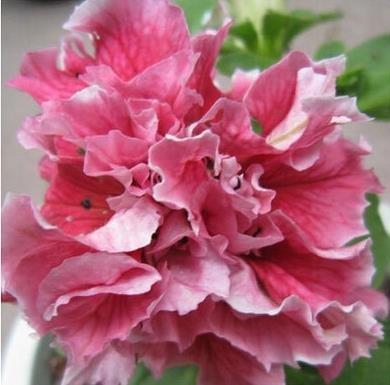 7: bateau libre Garden Pétunia pétales de fleurs Graines de jardin Pétunia Semillas De pétunias, 40 graines
