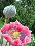 SAGEAWAY Las Semillas de Amapola de Papaver somniferum giganteum Flower