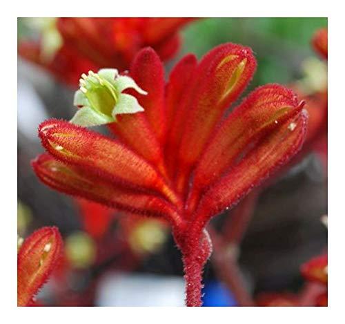 Anigozanthos rufus - Patte de kangourou rouge - 20 graines