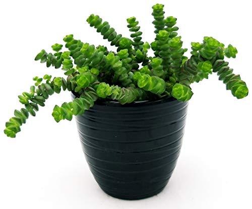 Crassula Hotentot, collar de jade en maceta de cerámica negra a rayas,...