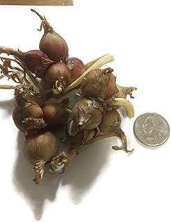 walking onion bulbs