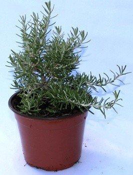 Romero rastrero (Maceta 13 cm Ø) - Planta viva - Planta aromatica