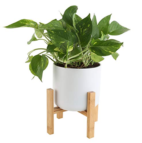 Costa Farms Easy Care Devil's Ivy Golden Pothos Live Indoor Plant, 8-Inches Tall