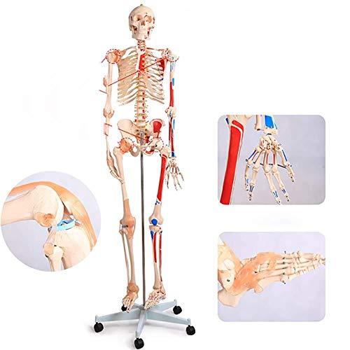 Menschliches Organmodell/ 180 Cm Menschliches Skelett Modell bemalt und nummeriert Muskelansatz und Herkunft Punkte mit Bändern und Nerven for Medizinische Anatomie /Humane Knochen anatomisches Modell