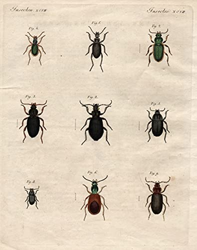 Insecten XCVII Schöne deutsche Käfer. - Sphodrus, Dolichus, Taphria, Chlänius, Oode, Callistus, Agone, Bodenkäfer, Wanderkäfer Käfer beetle ground beetle Bertuch Kupferstich copper engraving ant ...