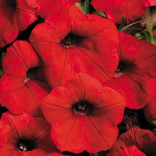 Shock Wave Red Petunia Seeds Seed Pack