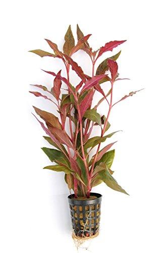 Dekoimtrend Breitblättriges, rotes Papageienblatt/Alternanthera reineckii Topf Ø 5cm Wasserpflanze
