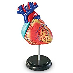 Image: Learning Resources Heart Model