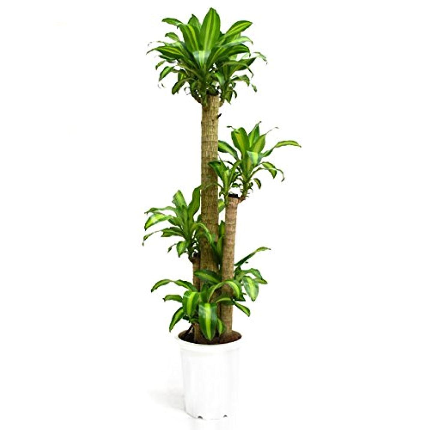 感嘆土器取り替える【装飾バークプレゼント】別名「幸福の木」 ドラセナ マッサン 大型10号