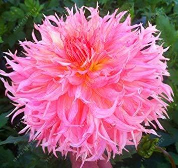 Vistaric Bulbos de dalia real, flor de dalia, bulbos de flor de bonsái (no semillas de dalia), planta perenne en maceta Raíz bulbosa para jardín 2 pzas 11