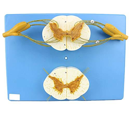 VIEUR Mensch Rückenmark Rinalnerv. Anatomisches Modell Periphäres Nervensystem Wirbelsäule Neuralsäureunterrichtshilfen