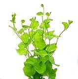 Japanisches Schaumkraut / Cardamine Lyrata - Pflanze für Aquarien, 1 Bund