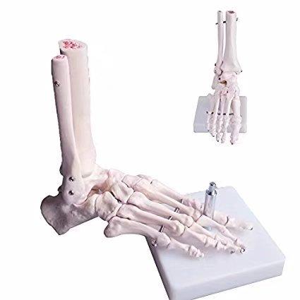 bonew-oral Menschliches Skelett Fuß Modell Life Größe