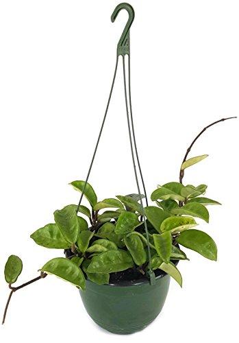 Hoya carnosa Krinkle 8