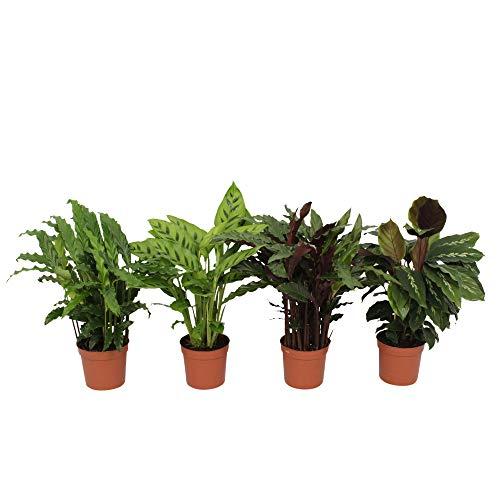 4x Calathea Indoor Grünpflanzen | 4er Set Luftreinigende Zimmerpflanzen | Calathea Pflanze | Korbmarante Pflanze | Höhe 35-40cm | Topf Ø 12cm