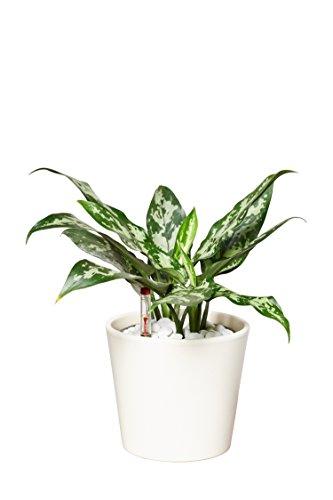 EVRGREEN pflegeleichte kleine Zimmerpflanze