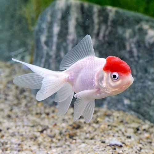 (国産金魚)飯田丹頂 4~6cm(1匹)